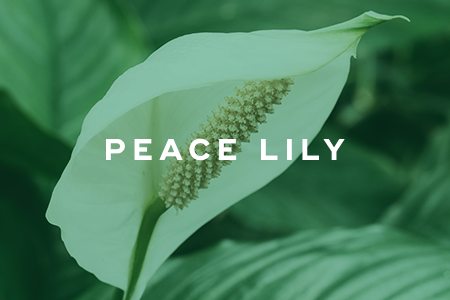 12. Peace lily